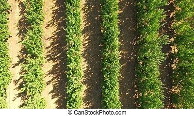 Green Apple Trees Growing In Rows In The Garden - AERIAL...