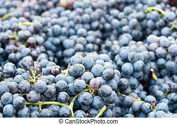 Bunches of grapes Lambrusco , a typical Italian grape ready...