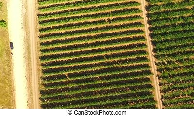 Rows Of Green Trees Growing In Large Garden - AERIAL VIEW:...