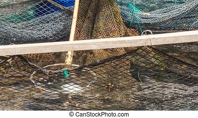worker catches with landing-net from pool sea-urchin at farm...