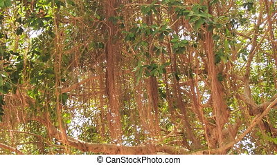 tropical tree banian with branches like roots tangled lianas...