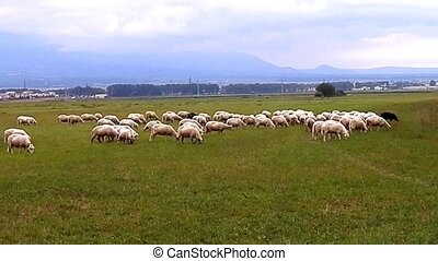 Flock of sheep attacks cameraman. - During the grazing sheep...