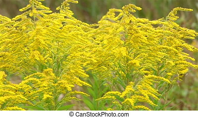 Yellow wildflowers in a strong wind
