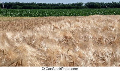 Wheat and corn blowing in the wind