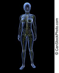 female lymphatic system - 3d rendered 3d rendered...