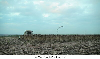 Harvester Collects Sunflowers - Harvester in The Field...