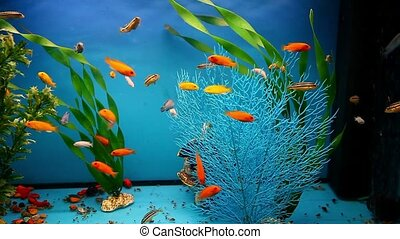 aquarium background blue calm fish swim grass saver video -...