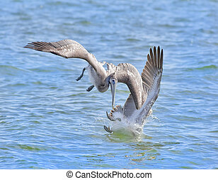 Florida Birds - Two Brown Pelicans are diving for fish