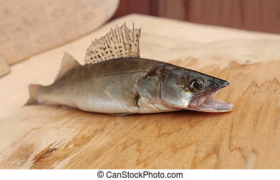 walleye with open mouth - walleye predatory fish with open...