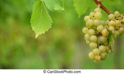 White grapes - Bunches of white wine grapes hang from a lush...