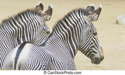 Two zebras - Two African zebra, Hippotigris