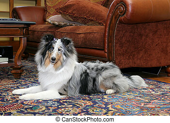 pretty dog in living room - one pretty Sheltie dog headshot...