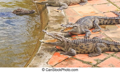 crocodiles lie on stone bank of artificial lake in tropical park