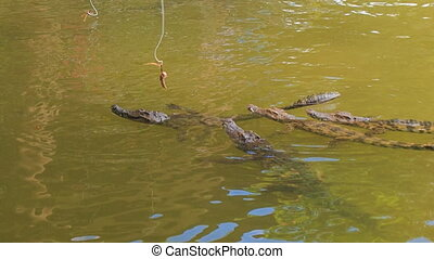 crocodiles swim catch meat from fishing rods on crocodile...