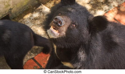 closeup black bear looks into camera in tourist park -...
