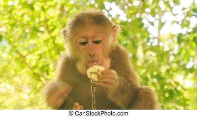 closeup monkey with metal chain on neck sits eats fruit in...