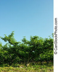 Peach Trees - Beautiful Peach Trees With the Blue Sky