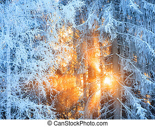 Sun rays through frosty trees in winter forest