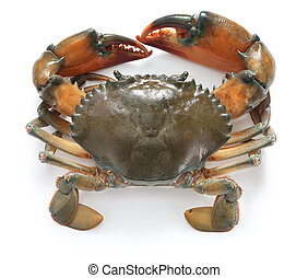 mud crab male isolated on white background