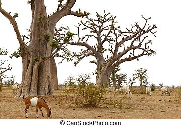 African Baobab tree with livestock eating - African Baobab...