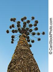 Araucaria, árbol, aislado, en, blanco,