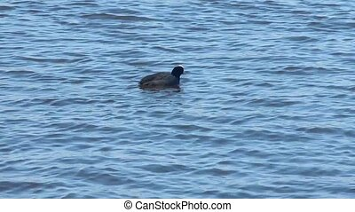 A duck swims on the pond - Wild duck is swimming on a pond...