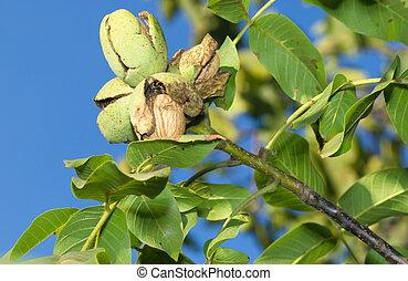 Ripe nuts of a Walnut tree