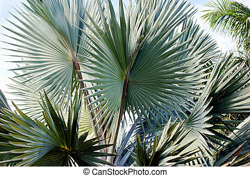 bismark palm fronds - detail of palm fronds on a beautiful...
