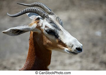 Antilope close up portrait image