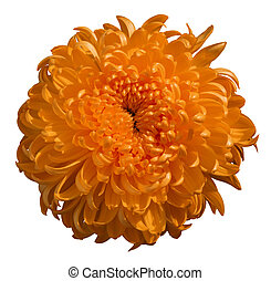 Orange chrysanthemum flower, white isolated background with clipping path.  Closeup.