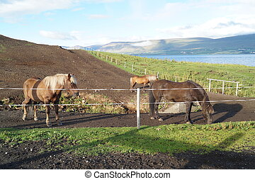 Horse farm in Iceland