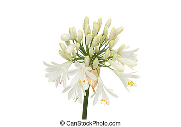 Agapanthus - White Agapanthus flower also known as lily of...
