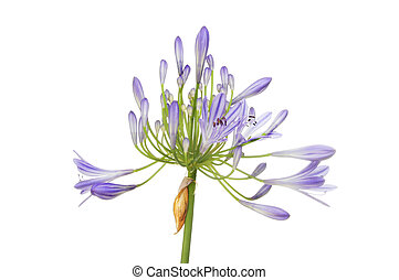 Agapanthus - Blue Agapanthus flower head isolated against...