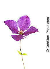 Clematis jackmanii flower and leaves isolated against white