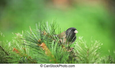 songbird in pine branches - a dark-eyed junco feeds among...