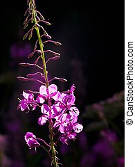 Fireweed - Field flower Summer Day Rural Blooming sally...