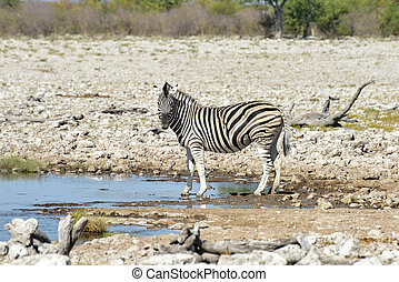 Zebra - Etosha, Namibia - Zebra at a watering hole in Etosha...