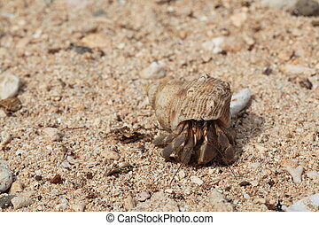 Hermit Crab on the beach - A hermit crab walks along the...