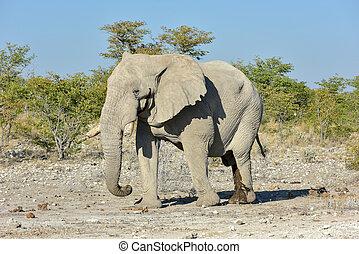 Elephant - Etosha, Namibia - Elephant in the wild in Etosha...