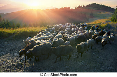 Shepherds and sheep Carpathians - High in the mountains at...