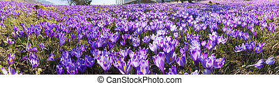 Glade crocus - Spring, alpine villages and mountain meadows...