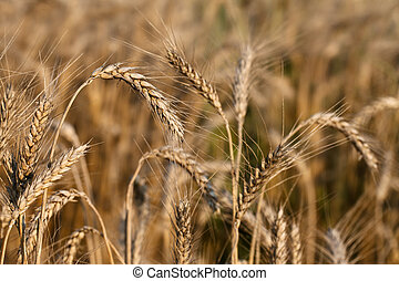 Ripe ear of wheat, close up view