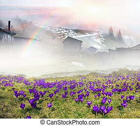 snow crocuses - High in Ukraine - Black Mountain, Goverla,...