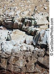 Humbold Penguins, Paracas natural reserve, Peru - Humbold...