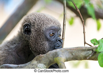 Woolly Monkey Face - Closeup view of the face of a woolly...