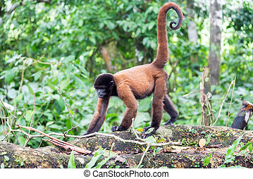 Woolly Monkey Walking - Woolly monkey in the Amazon rain...