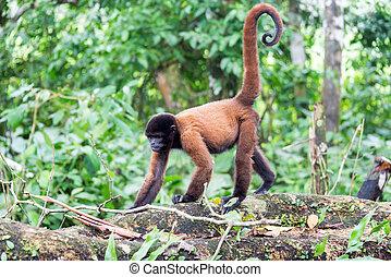 Woolly Monkey Walking - Woolly monkey in the Amazon rain...