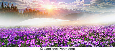 Crocuses under Chernogora - Ukraine, wild Montenegrin...