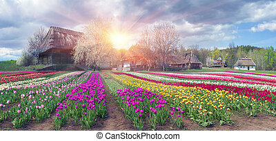 Fields of tulips in Pirogovo - Tulips on the background of...