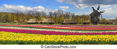 Fields of tulips in the village - Tulips on the background...